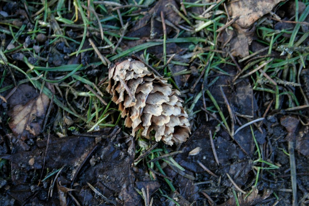 Fallen pine cone
