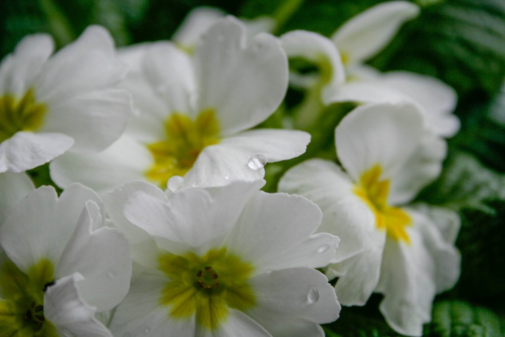 White flower with drop