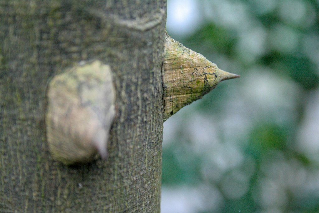 Tree thorn