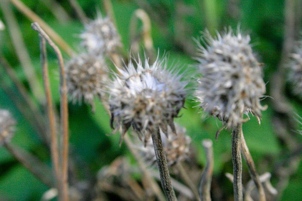 Winter dark thorns